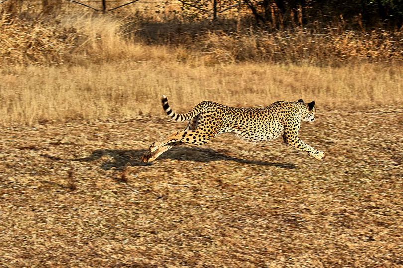 Foto: Cheetah Run