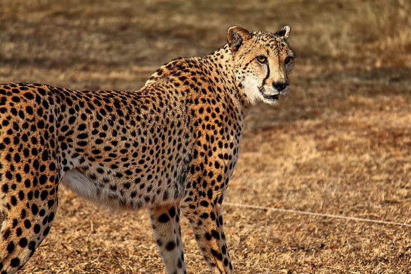 Foto: Gepard