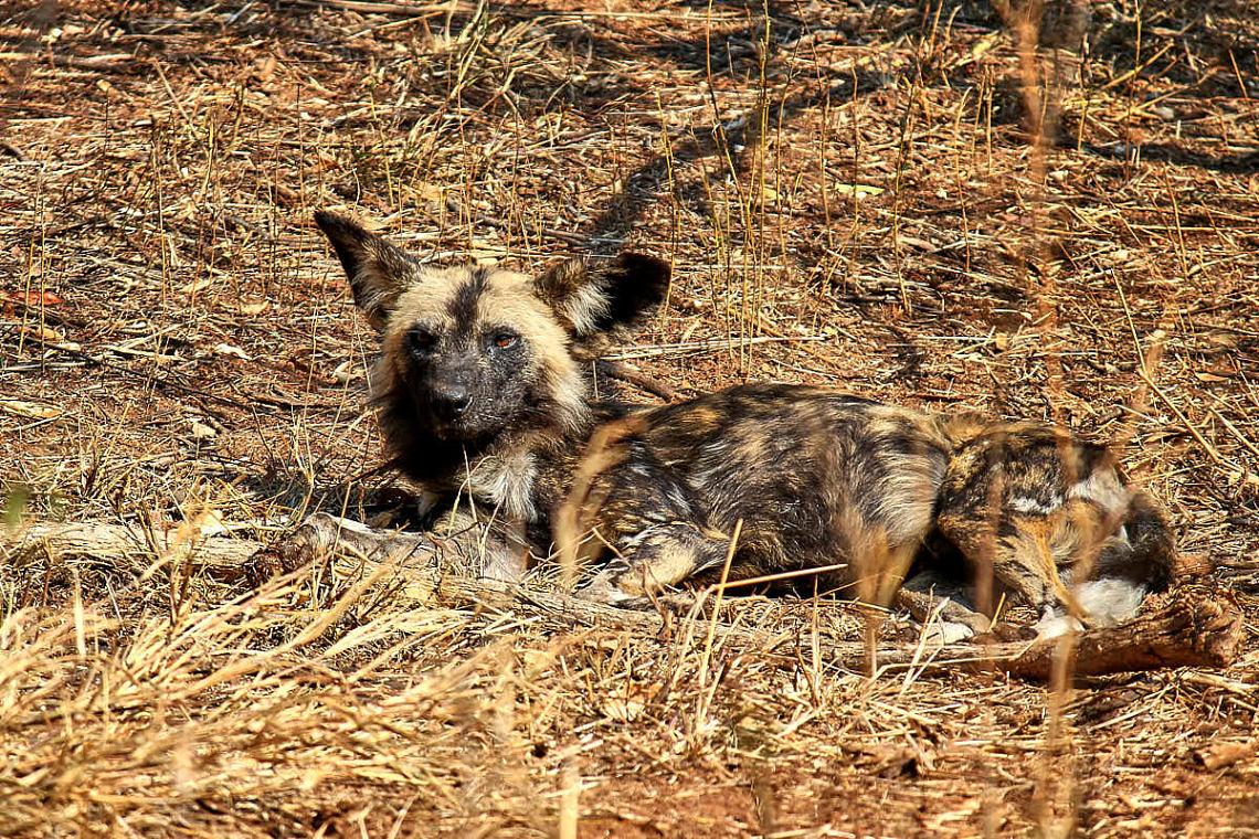 Foto: Afrikanischer Wildhund