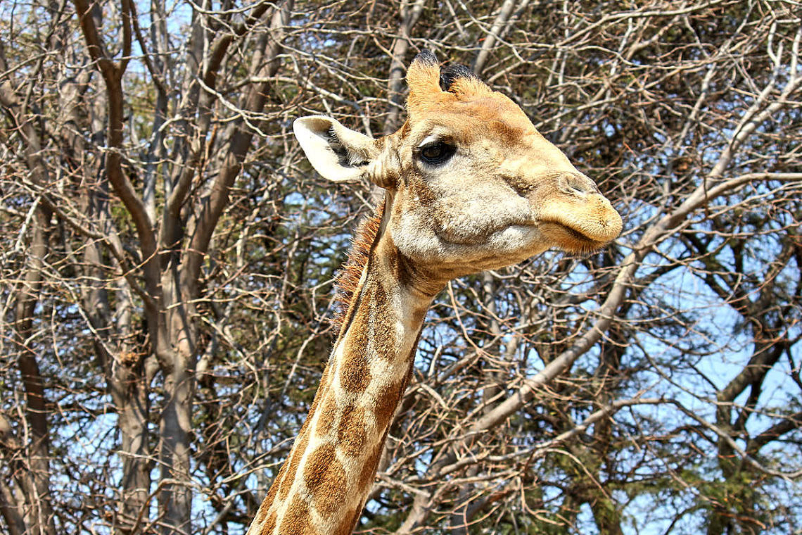Foto: Giraffe