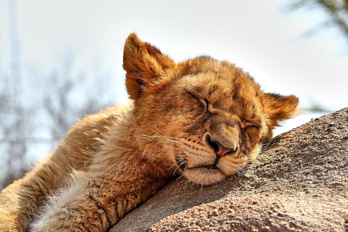 Foto: Junger Löwe