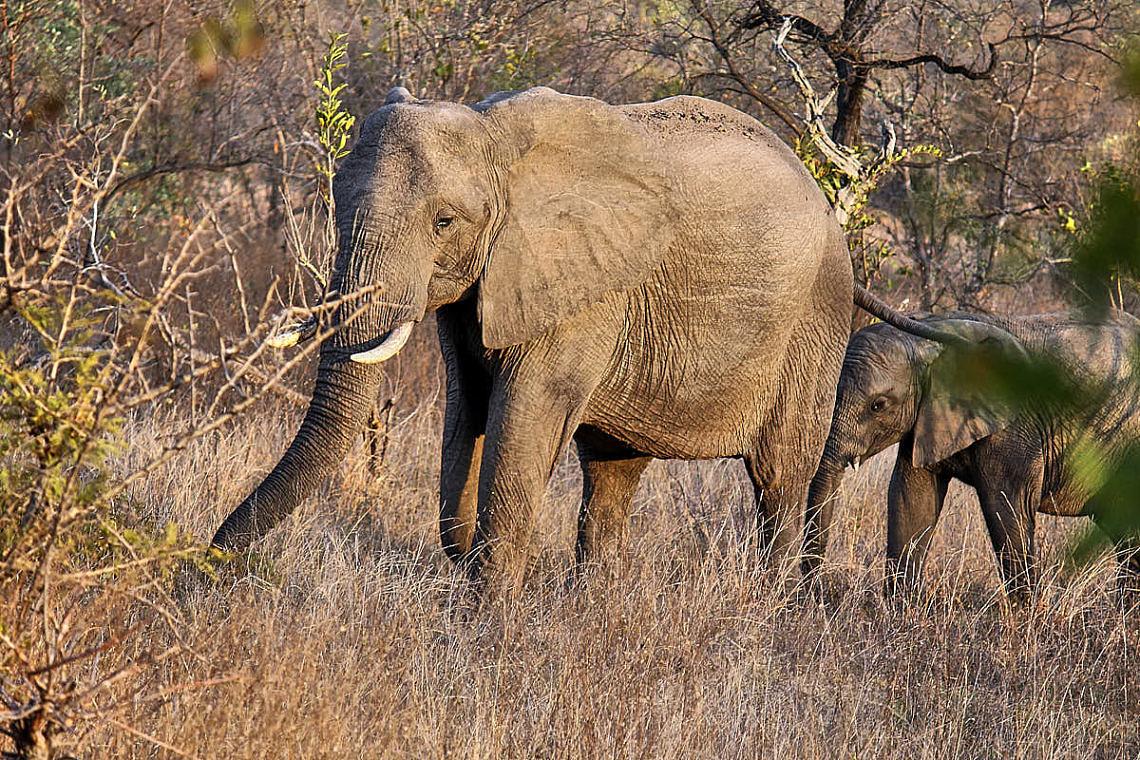 Foto: Elefantenkuh mit Kalb