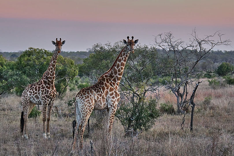 Foto: Giraffen im Sonnenuntergang