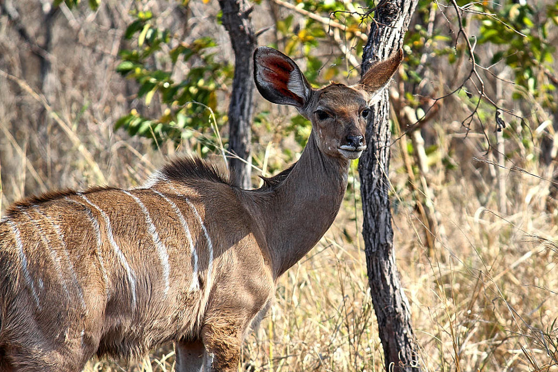 Foto: Antilope